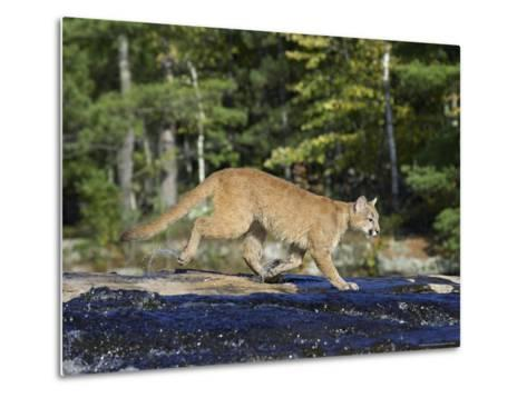 Captive Mountain Lion Crossing a Stream, Minnesota Wildlife Connection, Minnesota, USA-James Hager-Metal Print