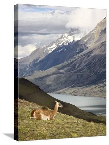 Guanaco (Lama Guanicoe) with Mountains and Lago Nordenskjsld in Background, Chile, South America-James Hager-Stretched Canvas Print