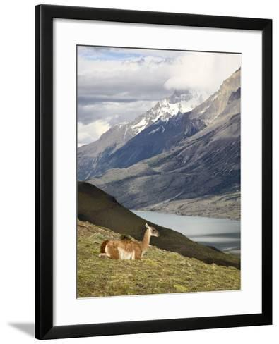 Guanaco (Lama Guanicoe) with Mountains and Lago Nordenskjsld in Background, Chile, South America-James Hager-Framed Art Print