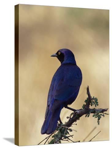 Greater Blue-Eared Glossy Starling, Kruger National Park, South Africa, Africa-James Hager-Stretched Canvas Print