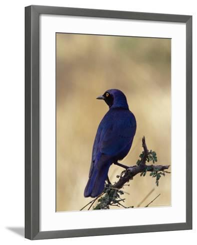 Greater Blue-Eared Glossy Starling, Kruger National Park, South Africa, Africa-James Hager-Framed Art Print