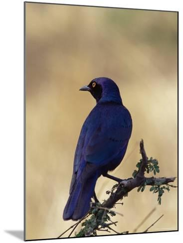Greater Blue-Eared Glossy Starling, Kruger National Park, South Africa, Africa-James Hager-Mounted Photographic Print