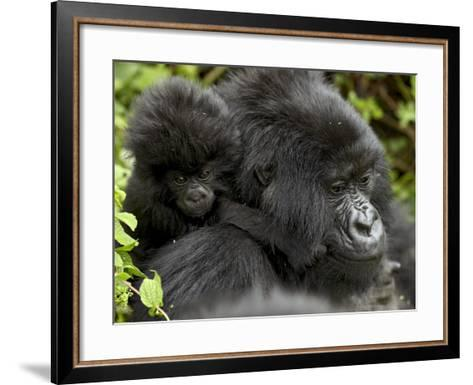 Infant Mountain Gorilla Clinging to Its Mother's Neck, Amahoro a Group, Rwanda, Africa-James Hager-Framed Art Print