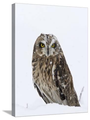 Captive Short-Eared Owl (Asio Flammeus) in the Snow, Boulder County, Colorado-James Hager-Stretched Canvas Print