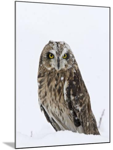 Captive Short-Eared Owl (Asio Flammeus) in the Snow, Boulder County, Colorado-James Hager-Mounted Photographic Print