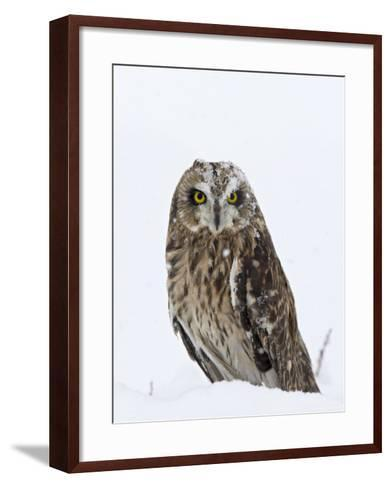 Captive Short-Eared Owl (Asio Flammeus) in the Snow, Boulder County, Colorado-James Hager-Framed Art Print