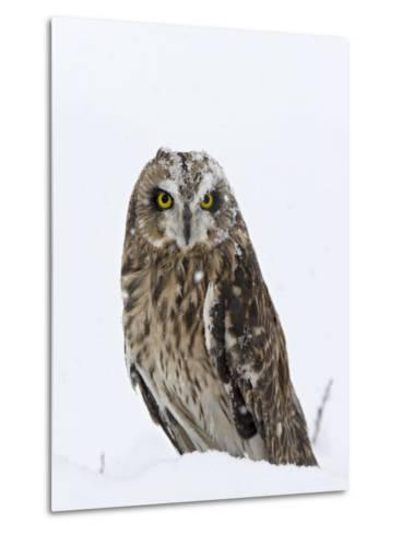 Captive Short-Eared Owl (Asio Flammeus) in the Snow, Boulder County, Colorado-James Hager-Metal Print