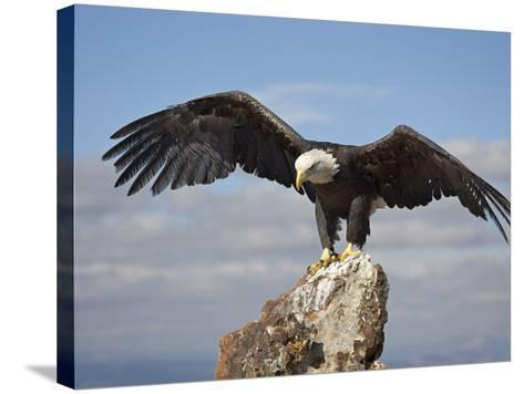Bald Eagle (Haliaeetus Leucocephalus) Perched with Spread Wings, Boulder County, Colorado-James Hager-Stretched Canvas Print