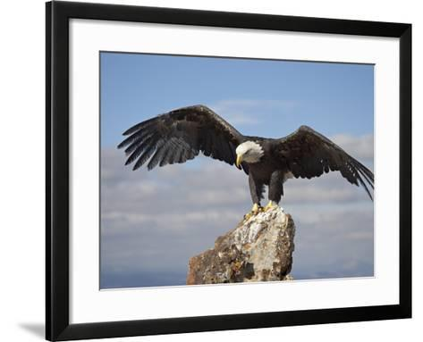 Bald Eagle (Haliaeetus Leucocephalus) Perched with Spread Wings, Boulder County, Colorado-James Hager-Framed Art Print