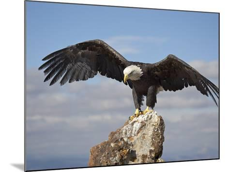 Bald Eagle (Haliaeetus Leucocephalus) Perched with Spread Wings, Boulder County, Colorado-James Hager-Mounted Photographic Print