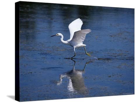 Immature Little Blue Heron (Egretta Caerulea), Everglades National Park, Florida-James Hager-Stretched Canvas Print