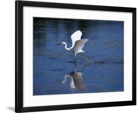 Immature Little Blue Heron (Egretta Caerulea), Everglades National Park, Florida-James Hager-Framed Art Print