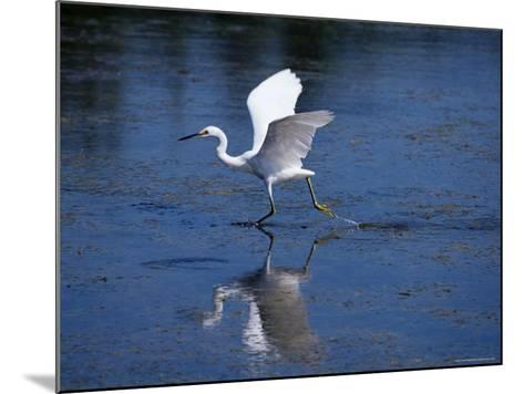 Immature Little Blue Heron (Egretta Caerulea), Everglades National Park, Florida-James Hager-Mounted Photographic Print