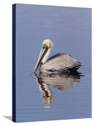 "Brown Pelican (Pelicanus Occidentalis), J. N. ""Ding"" Darling National Wildlife Refuge, Florida-James Hager-Stretched Canvas Print"