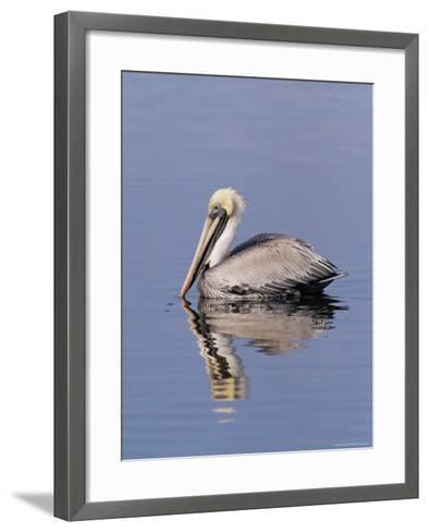 "Brown Pelican (Pelicanus Occidentalis), J. N. ""Ding"" Darling National Wildlife Refuge, Florida-James Hager-Framed Art Print"