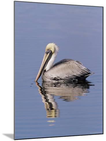 "Brown Pelican (Pelicanus Occidentalis), J. N. ""Ding"" Darling National Wildlife Refuge, Florida-James Hager-Mounted Photographic Print"