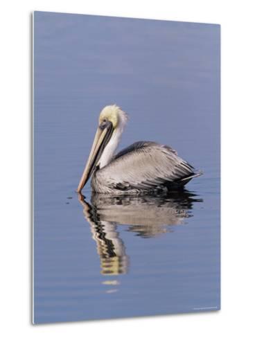 "Brown Pelican (Pelicanus Occidentalis), J. N. ""Ding"" Darling National Wildlife Refuge, Florida-James Hager-Metal Print"