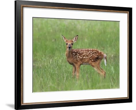 Whitetail Deer Fawn (Odocileus Virginianus), 21 Days Old, in Captivity, Minnesota, USA-James Hager-Framed Art Print