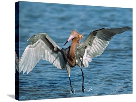 Reddish Egret Fishing in Shallow Water, Ding Darling NWR, Sanibel Island, Florida, USA-Charles Sleicher-Stretched Canvas Print