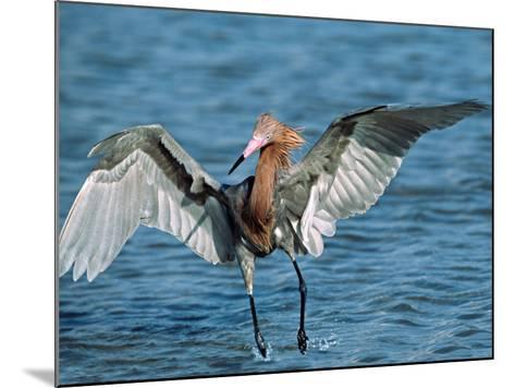Reddish Egret Fishing in Shallow Water, Ding Darling NWR, Sanibel Island, Florida, USA-Charles Sleicher-Mounted Photographic Print