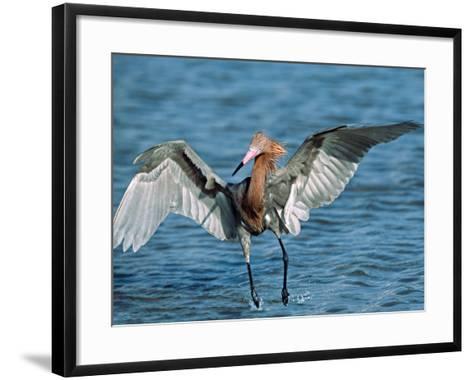 Reddish Egret Fishing in Shallow Water, Ding Darling NWR, Sanibel Island, Florida, USA-Charles Sleicher-Framed Art Print