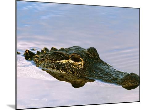 Alligator Lying in Wait for Prey, Ding Darling NWR, Sanibel Island, Florida, USA-Charles Sleicher-Mounted Photographic Print