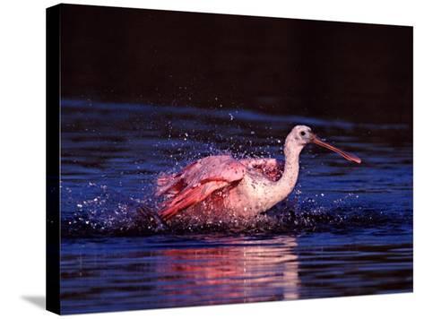 Juvenile Roseate Spoonbill Bathing, Ding Darling NWR, Sanibel Island, Florida, USA-Charles Sleicher-Stretched Canvas Print