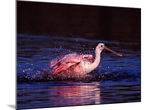 Juvenile Roseate Spoonbill Bathing, Ding Darling NWR, Sanibel Island, Florida, USA-Charles Sleicher-Mounted Photographic Print