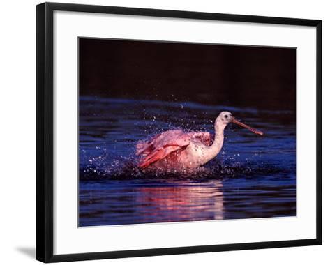 Juvenile Roseate Spoonbill Bathing, Ding Darling NWR, Sanibel Island, Florida, USA-Charles Sleicher-Framed Art Print