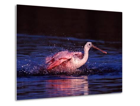 Juvenile Roseate Spoonbill Bathing, Ding Darling NWR, Sanibel Island, Florida, USA-Charles Sleicher-Metal Print