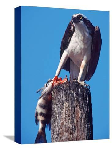 Osprey on Post with Fish-Charles Sleicher-Stretched Canvas Print