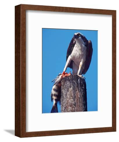 Osprey on Post with Fish-Charles Sleicher-Framed Art Print