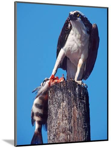 Osprey on Post with Fish-Charles Sleicher-Mounted Photographic Print