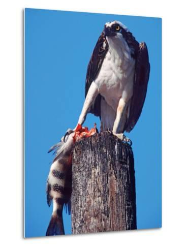Osprey on Post with Fish-Charles Sleicher-Metal Print