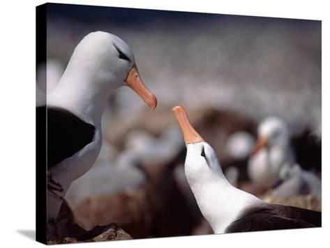 Black Browed Albatross-Charles Sleicher-Stretched Canvas Print
