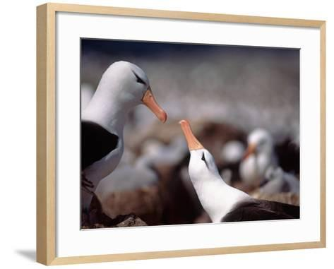Black Browed Albatross-Charles Sleicher-Framed Art Print