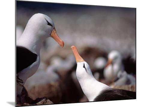 Black Browed Albatross-Charles Sleicher-Mounted Photographic Print