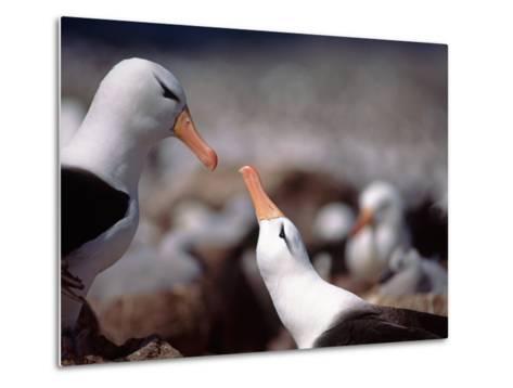 Black Browed Albatross-Charles Sleicher-Metal Print