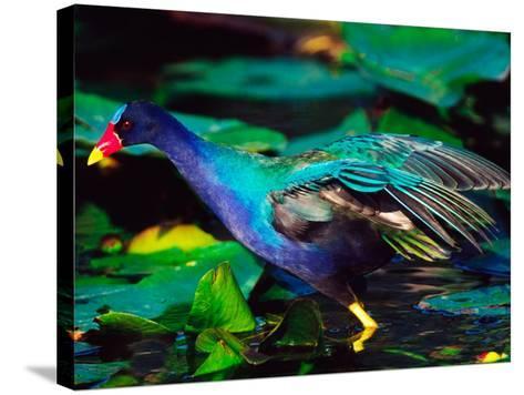 Purple Gallinule Foraging, Everglades National Park, Florida, USA-Charles Sleicher-Stretched Canvas Print