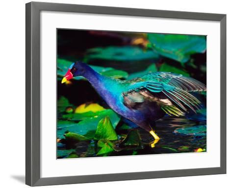 Purple Gallinule Foraging, Everglades National Park, Florida, USA-Charles Sleicher-Framed Art Print