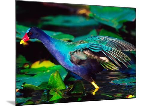 Purple Gallinule Foraging, Everglades National Park, Florida, USA-Charles Sleicher-Mounted Photographic Print