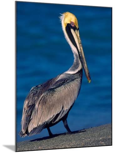 Male Brown Pelican in Breeding Plumage, Sanibel Island, Florida, USA-Charles Sleicher-Mounted Photographic Print