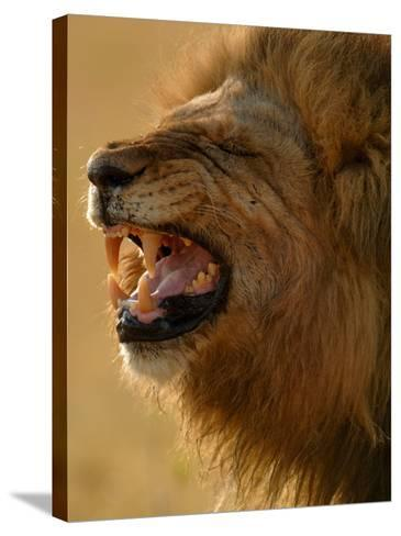 Lion Snarling, Mombo Area, Chief's Island, Okavango Delta, Botswana-Pete Oxford-Stretched Canvas Print
