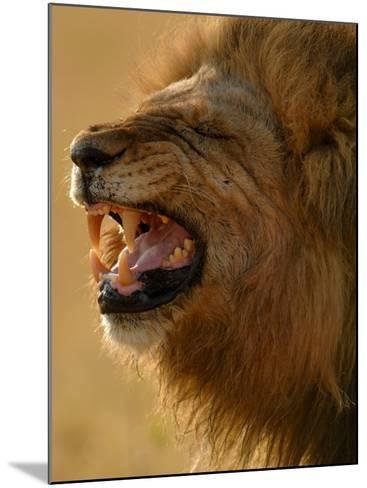 Lion Snarling, Mombo Area, Chief's Island, Okavango Delta, Botswana-Pete Oxford-Mounted Photographic Print