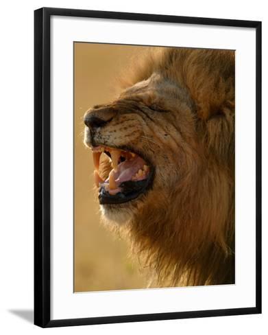 Lion Snarling, Mombo Area, Chief's Island, Okavango Delta, Botswana-Pete Oxford-Framed Art Print