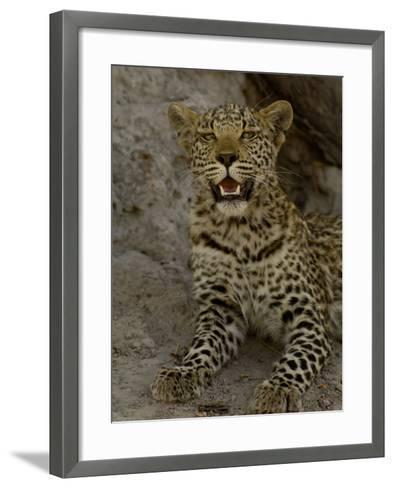 Leopard Female Cub, Savuti Channal, Linyanti Area, Botswana-Pete Oxford-Framed Art Print