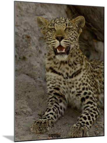 Leopard Female Cub, Savuti Channal, Linyanti Area, Botswana-Pete Oxford-Mounted Photographic Print