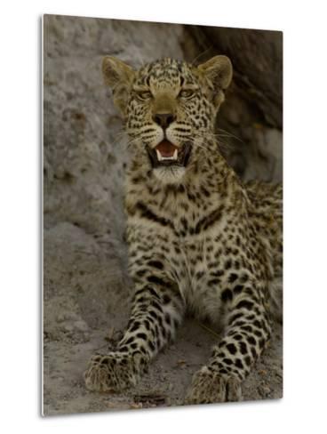 Leopard Female Cub, Savuti Channal, Linyanti Area, Botswana-Pete Oxford-Metal Print