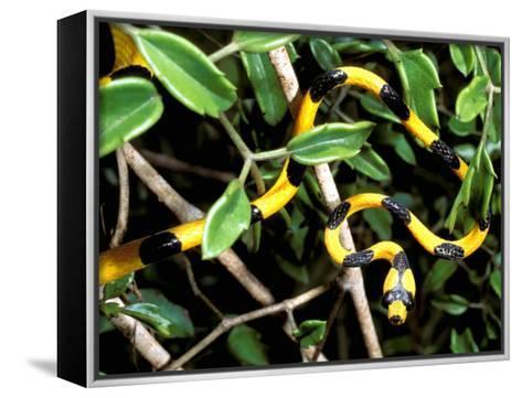 Snake, Western Desciduous Forests, Madagascar-Pete Oxford-Framed Canvas Print