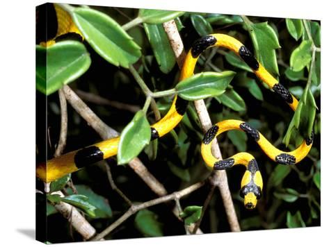 Snake, Western Desciduous Forests, Madagascar-Pete Oxford-Stretched Canvas Print